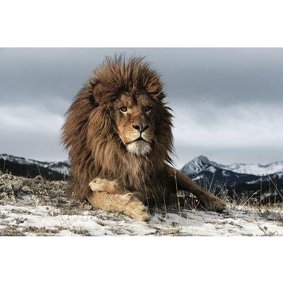 Glassbilde Lion - 120x80 cm